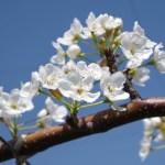 【梨の人工授粉】受粉作業に適した時間帯とは? 29