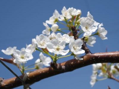 【梨の人工授粉】受粉作業に適した時間帯とは? 2