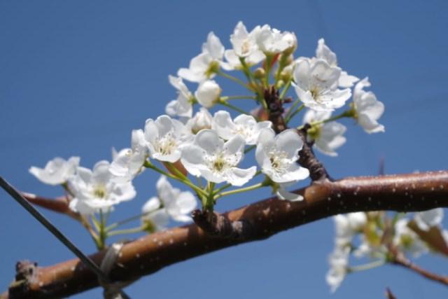 梨の花粉の馴化・授粉作業の手順を解説【受粉方法まとめ】 121