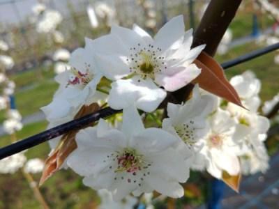 梨の受粉作業