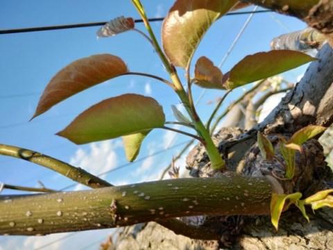 梨の剪定方法を画像で解説【剪定技術の種類と剪定前後の写真】 497