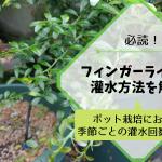 フィンガーライムの灌水方法を解説【ポット栽培における季節ごとの灌水回数と時間】