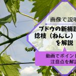 ブドウの新梢誘引と捻枝(ねんし)の方法を解説【動画でポイントと注意点を解説】 375