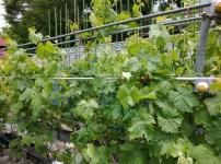 ブドウの大苗