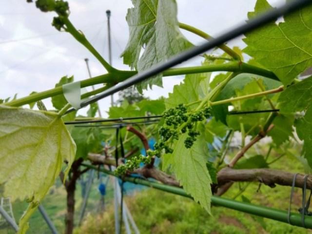 【ブドウの大苗の作り方】先端までしっかりした枝を作るための育苗方法 49