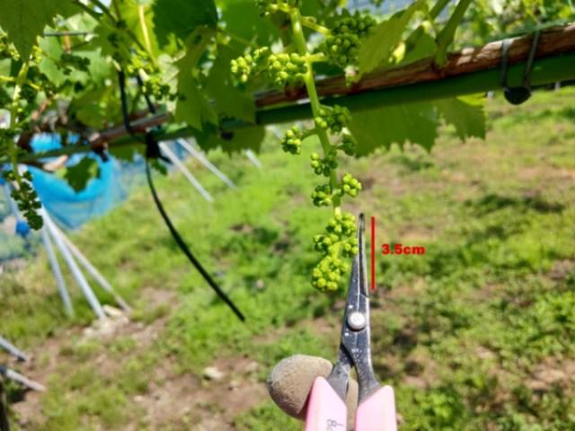 【ブドウの房切り動画】種なしブドウの房作りの方法を動画で解説 25