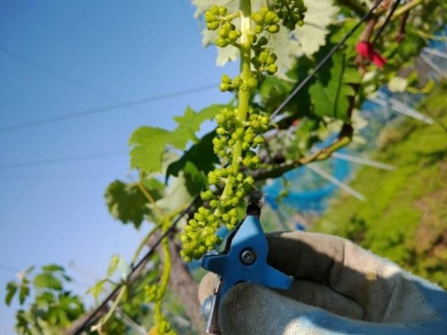 【ブドウの房切り】サボテンの花穂整形器の使い方を動画で紹介 14