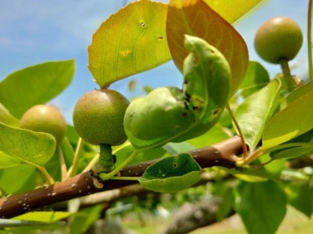 【梨の本摘果のやり方】果実の残し方とその理由を画像で解説 99