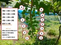 【ブドウの本摘粒を動画で解説】粒の残し方や段の数え方などを紹介 129
