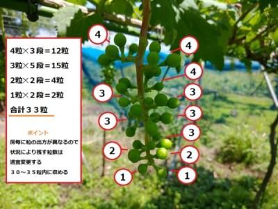 【ブドウの本摘粒を動画で解説】粒の残し方や段の数え方などを紹介 1
