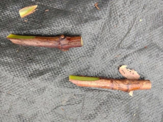 【成功率が高いブドウの接ぎ木方法】休眠枝を硬めの新梢に接ぎ木する! 58
