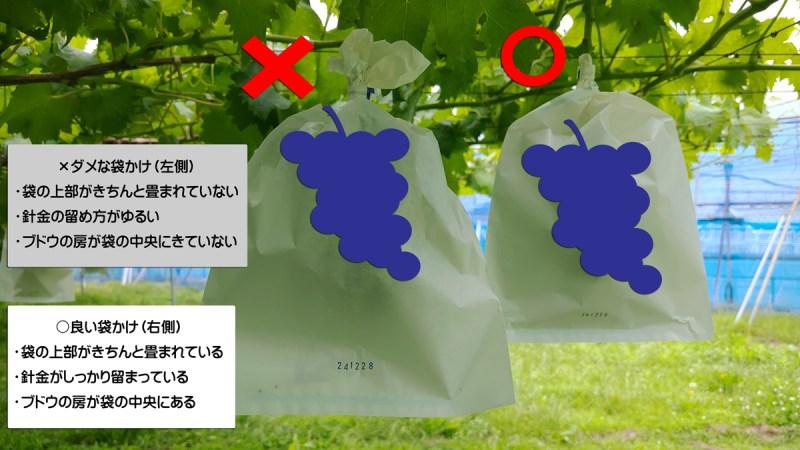 【ブドウの袋かけ】袋かけをする理由・時期・品種ごとの袋の種類を解説 394