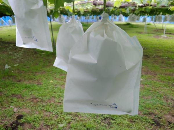 【ブドウの袋かけ】袋かけの時期·袋かけをする理由·ブドウの袋の種類を解説 31