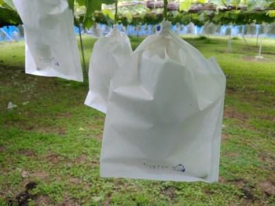 【ブドウの袋かけ】袋かけの時期·袋かけをする理由·ブドウの袋の種類を解説 50