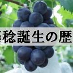 藤稔(ふじみのり)誕生の歴史 3
