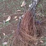 プロの苗木屋さんが育てたブドウの苗木から接ぎ木方法を分析してみた 22
