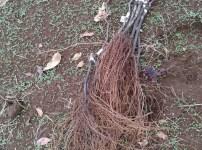 プロの苗木屋さんが育てたブドウの苗木から接ぎ木方法を分析してみた 6