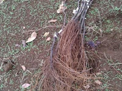 プロの苗木屋さんが育てたブドウの苗木から接ぎ木方法を分析してみた 93