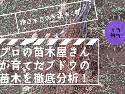 プロの苗木屋さんが育てたブドウの苗木から接ぎ木方法を徹底分析!