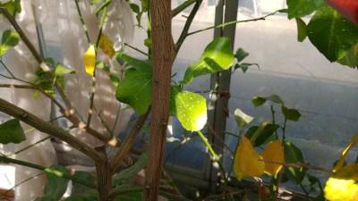 サボテン 芽キズ鋏MEBUKI改 No.AG-17の性能を解説【リンゴ・柑橘の芽キズに】 204