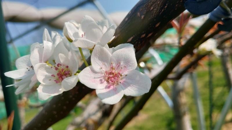 果樹花粉交配機 石川殖産 Zの性能・使い方を解説【果樹の人工授粉の効率化に】 214