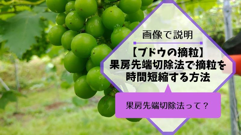 ブドウの果房先端切除法で摘粒時間を短縮する方法 247