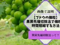 ブドウの果房先端切除法で摘粒時間を短縮する方法 415