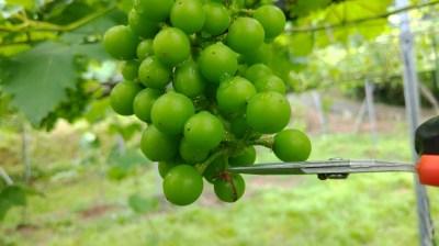 ブドウの果房先端切除法で摘粒時間を短縮する方法 280