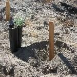 Seedling planted by volunteer