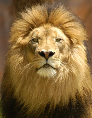 lion king # 43
