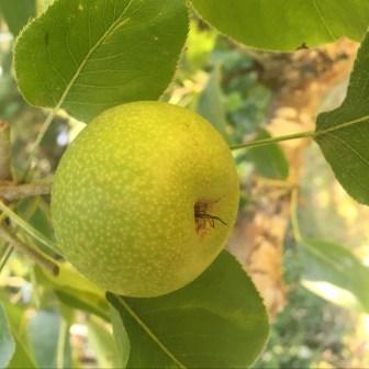 asian-pear.jpg