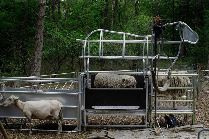 Sheep lining up in shearing street