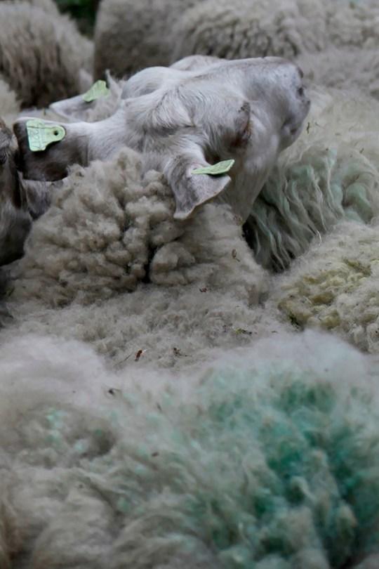 Sheep before shearing