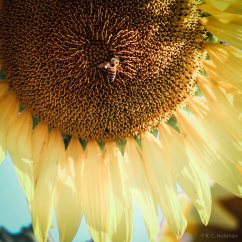 kch_sunflower01