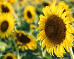 kch_sunflower06
