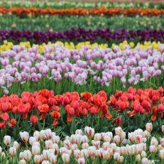 kch_tulips01