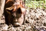 The family pig aka Wilbur