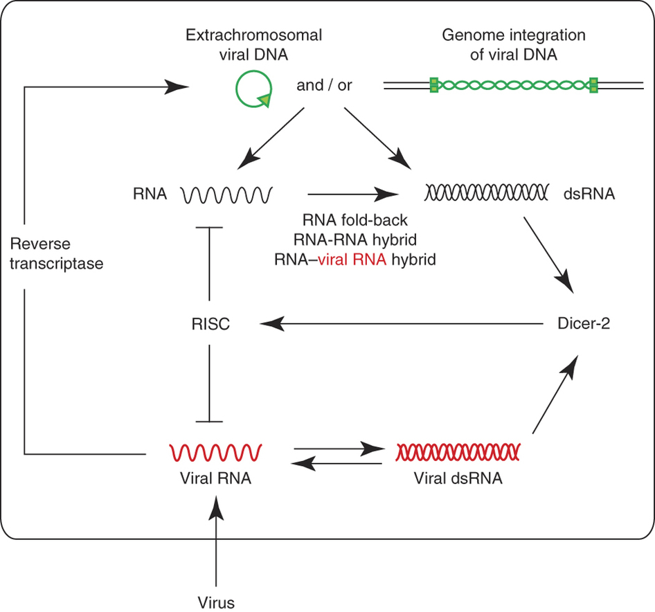hight resolution of  after viral infection viral genomes viral rna or dsrna intermediates viral