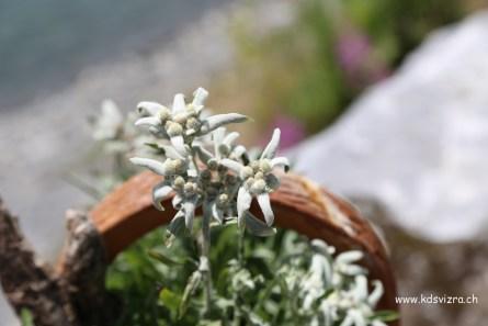 Bunga Edelweiss