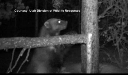 Image of wolverine in Utah's Uinta Mountains from the Division of Wildlife Resources