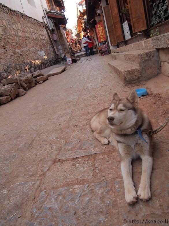 Elegant white dog in Lijiang's Shu He Ancient City