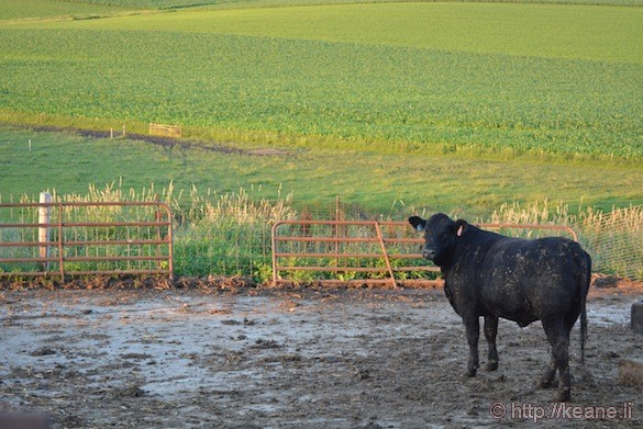 Cow in Decorah, IA