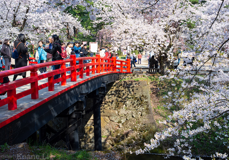 Cherry blossoms in full bloom in Hirosaki Park