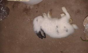 anak kelinci mati