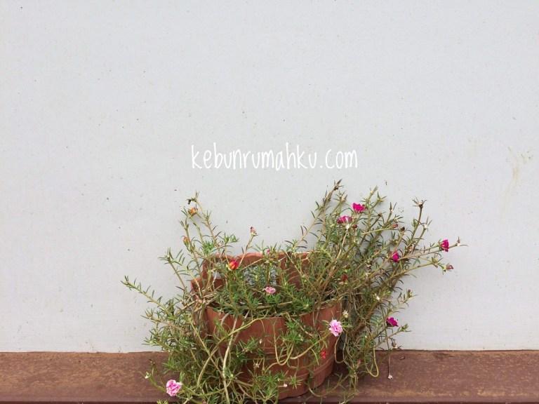 Kebunrumahku.com - Sutra Bombay (Foto: Instagram @kebun.rumahku).