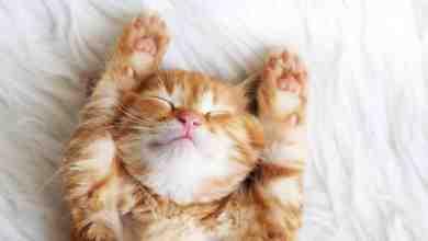 Photo of Kediler Rüya Görür Mü? Kediler Nasıl Rüya Görür?