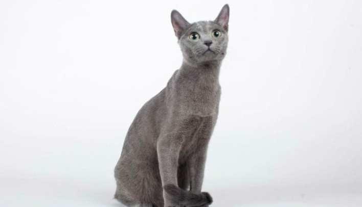 mavi-rus-kedisi-fiziksel-ozellikleri