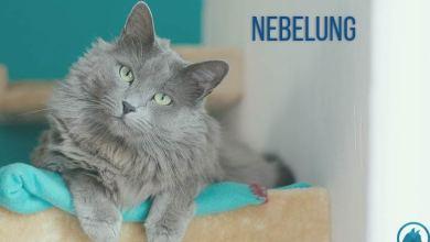 Photo of Nebelung Kedi Cinsinin Özellikleri ve Bakımı