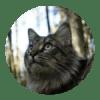 norvec-orman-kedisi-profil