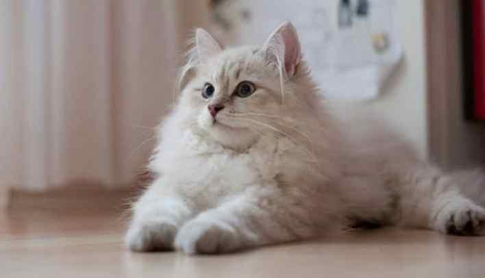 yavru-sibirya-kedisi